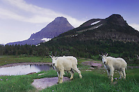 Mountain Goat,Oreamnos americanus,adults with summer coats and Mount Reynolds,Glacier National Park, Montana, USA, July 2007