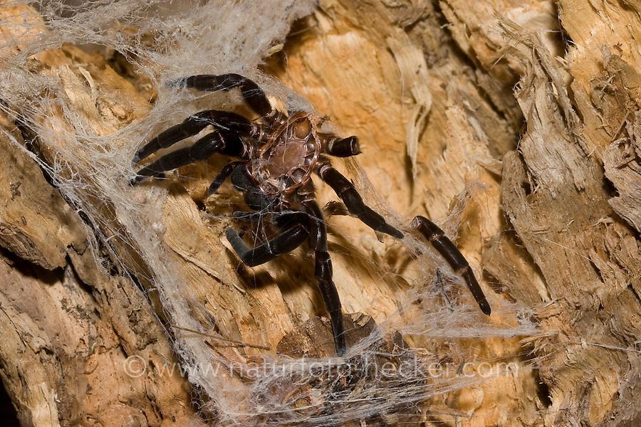 Häutung einer Spinne, Spinne ist gewachsen und musste sich dazu häuten, Exuvie, Röhrenspinne, Eresus