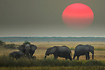 African elephants (Loxodonta africana)<br />