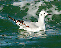 Adult Bonaparte's gull in non-breeding plumage