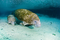 Florida Manatee, Trichechus manatus latirostris, A subspecies of the West Indian Manatee. A Manatee mother and her calf follow the high tide seeking the warm waters of the Three Sisters Springs. Crystal River, Florida.