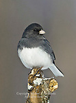Dark-eyed Junco,  Junco hyemalia