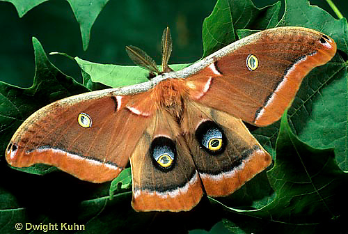 LE41-016c  Polyphemus Moth- adult male, note antennae - Antheraea polyphemus