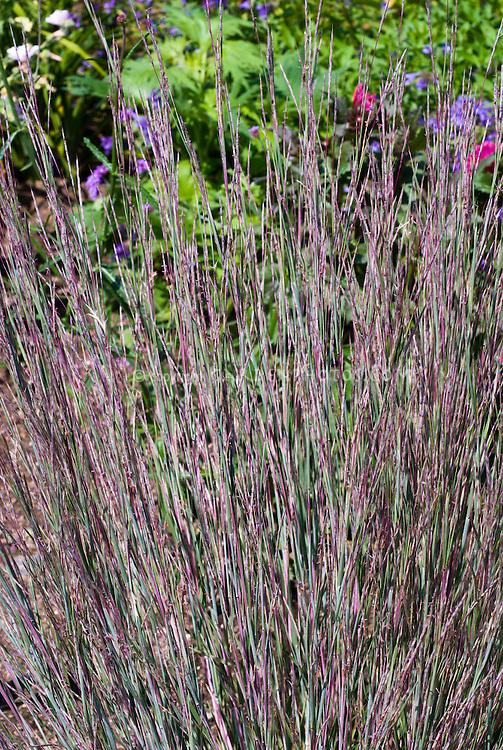 Schizachyrium scoparium aka andropogon scoparius little bluestem schizachyrium scoparium aka andropogon scoparius little bluestem ornamental grass at end of summer workwithnaturefo