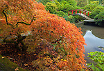 Kubota Garden, Seattle, WA: Lace-leafed Japanese maple in fall color with Moon Bridge in the background