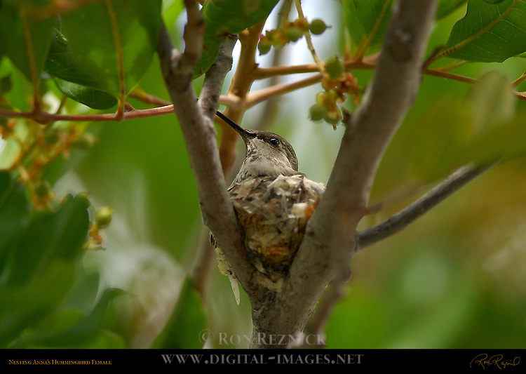 Nesting Anna's Hummingbird Female, Southern California