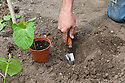 Plantng out French bean seedlings, mid June.