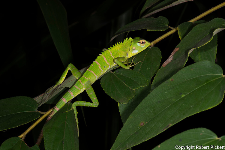 Common Green Forest Lizard, Calotes calotes, Sinharaja World Heritage Site, Sri Lanka, clinging on shrub in forest, at night