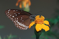 Butterfly on yellow flower, Ranthambore National Park,India