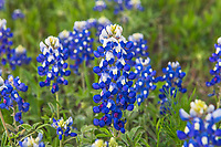 Bluebonnet macro  for a close up of these wonderful spring wildflowers.