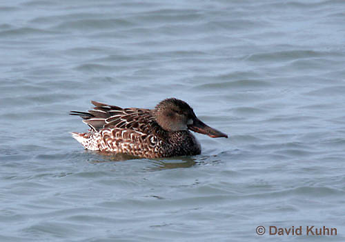 0721-0803  Female Northern Shoveler, Anas clypeata © David Kuhn/Dwight Kuhn Photography