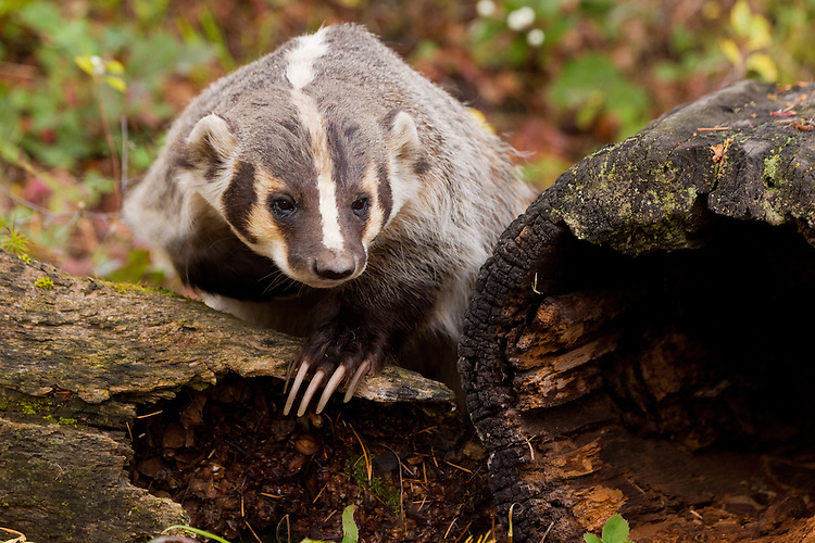 Badger leaning against a log - CA