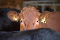 Finished beef cattle in a straw yard<br /> &copy;Tim Scrivener Photographer 07850 303986<br /> ....Covering Agriculture In The UK....