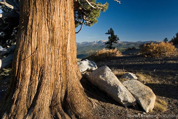 A western juniper (Juniperus occidentalis) and the Crystal Range, El Dorado National Forest, California