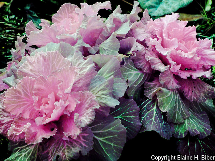 Ornamental cabbage, full spectrum photo