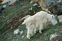 Mountain Goat nanny with young kid.  Northern Rockies.  June.