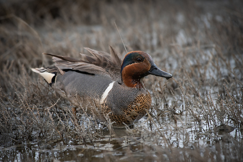 Green-Winged Teal (Anas carolinensis) in Southcentral Alaska.