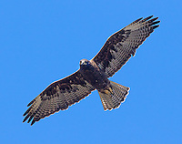 The Galapagos hawk is one of the few predators found on the islands, though they're also opportunistic scavengers.