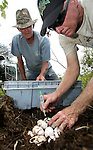 "With the outside temperatures pushing 100 degrees and much higher in the nests, Wayne ""Hoho"" Brooks, right, and Carl Nettles, from Brooks Brothers Alligator Farm in Christmas, Florida place a felt tip pen mark on the top of each alligator egg as they legally harvest the eggs them from a nest in Lake Miccosukee July 19, 2007.  Fourteen men from both the Florida Wildlife Commission and private gator farms collected 562 eggs at Lake Miccosukee 25 miles east of Tallahassee."