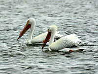 Two adult American white pelicans in breeding plumage swimming