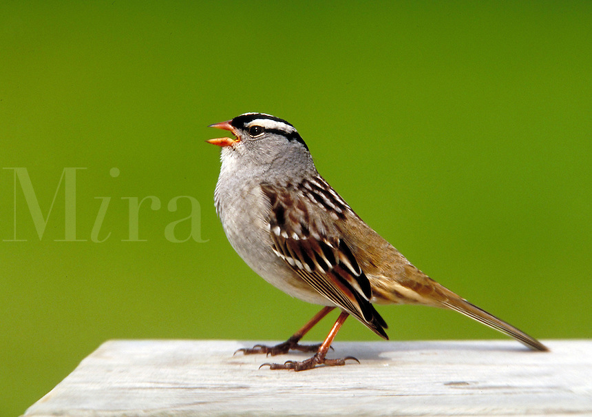 White-crowned Sparrow. Canada Ontario.