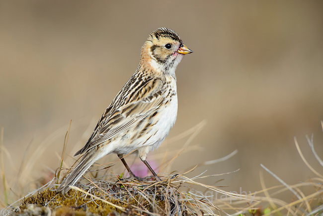 Female Lapland Longspur (Calcarius lapponicus). Yukon Delta National Wildlife Refuge, Alaska. June.