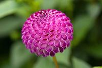 Pompom dahlia Dahlia 'Elfin' (Pom) purple pink