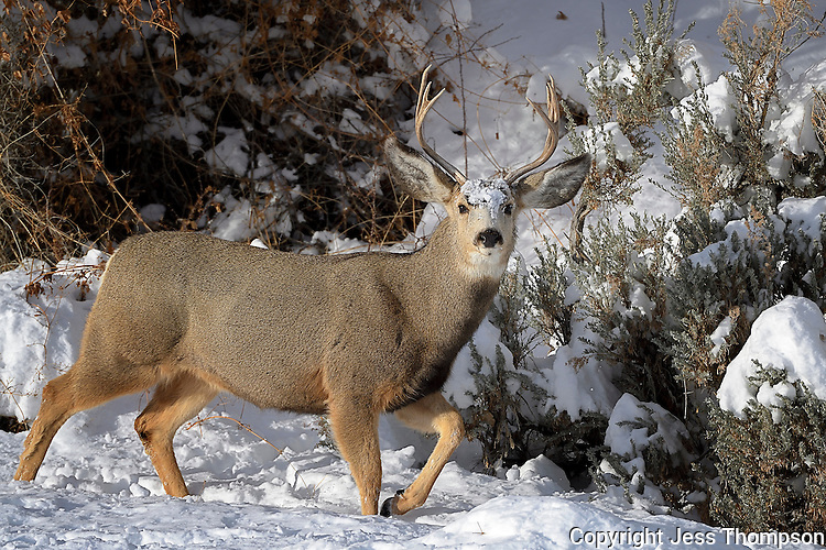 Mule Deer Buck, Cody, Wyoming