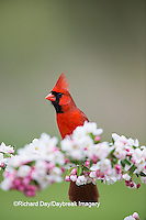 01530-21702 Northern Cardinal (Cardinalis cardinalis) male in Crabapple tree (Malus sp.) in spring Marion Co. IL