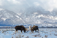 Fighting Bull Moose, Grand Tetons, Grand Teton National Park