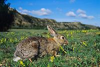 Eastern Cottontail Rabbit (Sylvilagus floridanus), Western U.S.