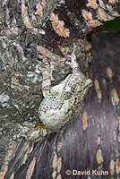 0303-0904  Eastern Gray Treefrog (Grey Tree Frog), Hyla versicolor  © David Kuhn/Dwight Kuhn Photography