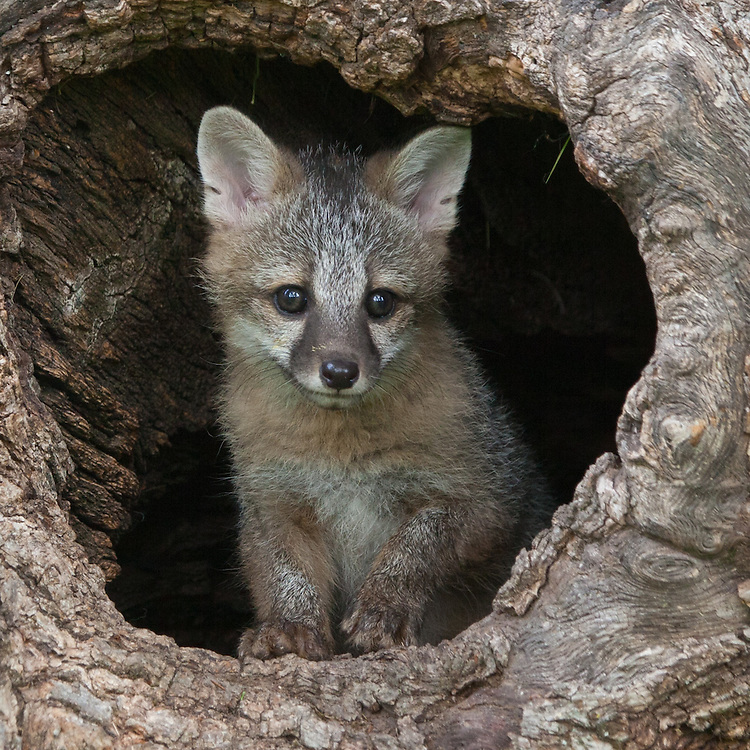 Grey Fox kit peering out of a hollow log - CA