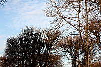 Paris: The top of majestic bare trees, in the winter, in the Luxembourg garden, with some clouds in the sky.