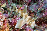 Japanese Horn Shark, Heterodontu japonica, Izu Peninsula, Japan, Pacific Ocean