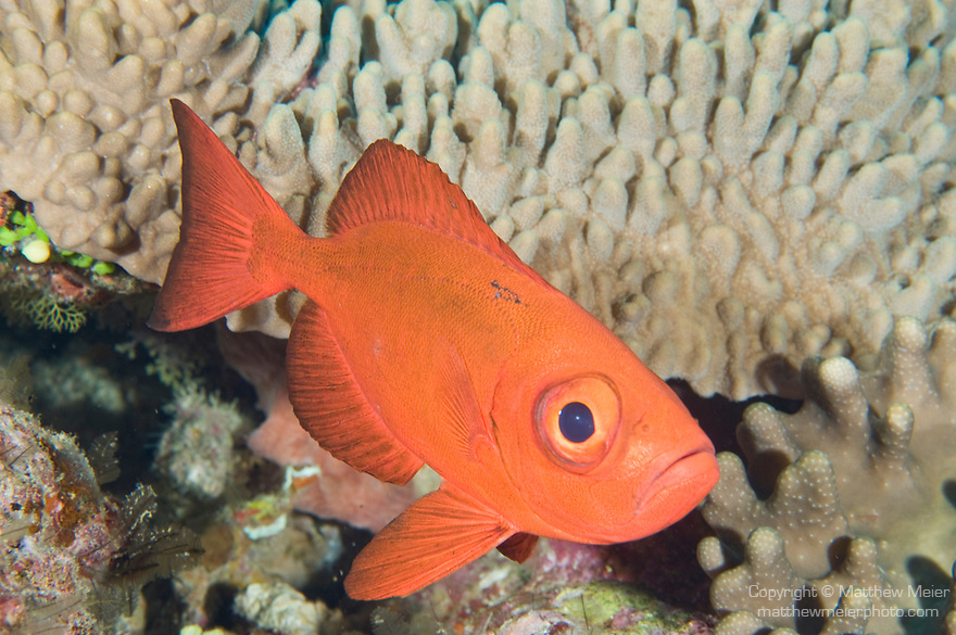 Vuna Reef, Taveuni, Fiji; a Crescent-tail Bigeye (Priacanthus hamrur) fish hovers over the coral reef