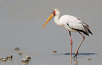 A Yellow-billed stork looks for food in a pond in Ndutu.