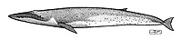 Bryde's whale, Balaenoptera edeni, lateral view, pen and ink illustration.