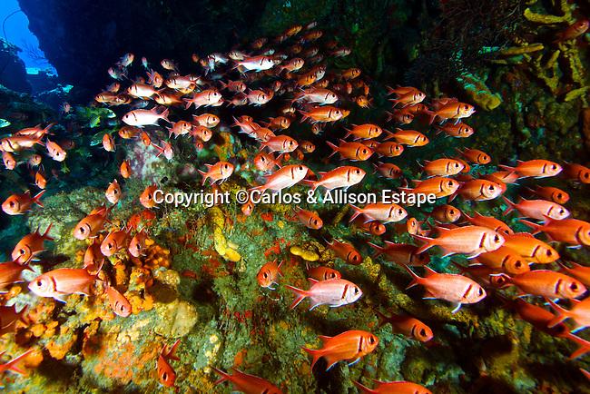 Myripristis jacobus, Blackbar soldierfish, Dominica