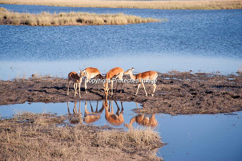 Impalas at Waterhole in Botswana, Africa