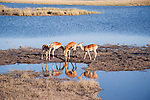 Impalas at Waterhole in Botswana, Africa