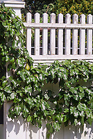 Prunus communis 'Beurre Bosc' Dwarf hybrid Pear fruit trellised against fence