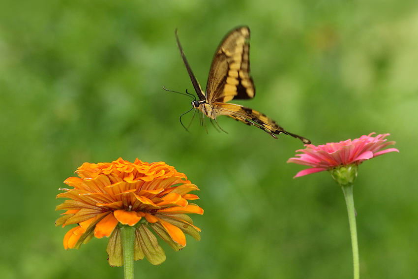 The Giant Swallowtail seems to be leaping from flower to flower..
