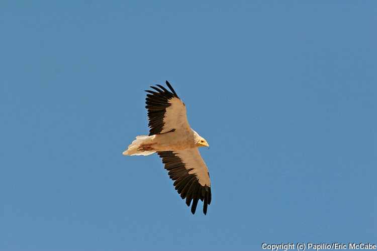 Egyptian Vulture in flight, Neophron percnopterus, Sunub waste disposal site Oman, Arabia, flying against blue sky background, soaring, feathers. Egyptian Vulture.