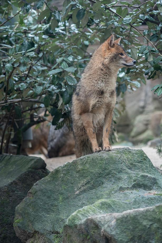 Gouden Jakhals (Canis aureus)