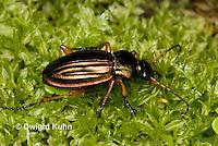 1C38-560z Green Beetle or Golden Ground Beetle, Carabus auratus