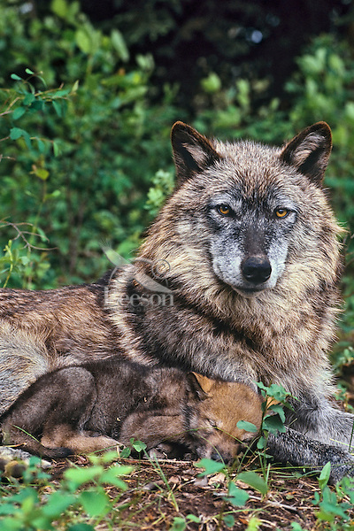 Gray wolf or timber wolf mother with pup (Canis lupus)