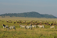 Zebra and wildebeest in Serengeti National Park, Tanzania.