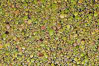 Vielwurzige Teichlinse, Wasserlinse, Entenflott, Entengrütze, Teich-Linse, Wasser-Linse, Enten-Flott, Enten-Grütze, Spirodela polyrhiza, Great Duckweed, Spirodèle