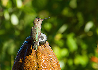 Anna's hummingbird, Calypte anna. On a backyard fountain in the Santa Cruz Mountains, California